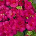 Пеларгония зональная Мультиблум F1 малиновая /100 семян/ *Syngenta Seeds*