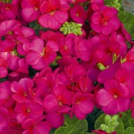 Пеларгония Мультиблум F1 малиновая /100 семян/ *Syngenta Seeds*