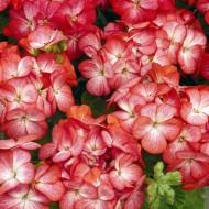 Пеларгония зональная Мультиблум F1 скарлет айс /100 семян/ *Syngenta Seeds*