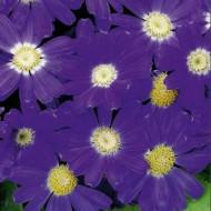 Перикаллис Венеция F1 синий с ободком  /100 семян/ *Syngenta Seeds*
