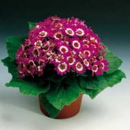Перикаллис Венеция F1 карминовый с ободком /100 семян/ *Syngenta Seeds*