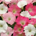 Петуния ампельная Изи Вэйв F1 Тропикана смесь (белая, малиновая, розовая) /100 семян/ *Pan American*