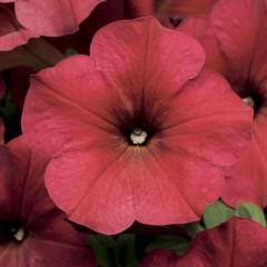Петуния Изи Вэйв F1 Тропикана смесь (белая, малиновая, розовая) /50 семян/ *Pan American*