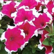 Петуния Дримс розовая пикотэ /1.000 семян/ *Pan American*