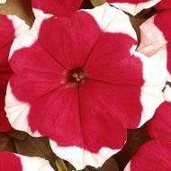 Петуния карликовая грандифлора Дримс Красная пикотэ /1.000 семян/ *Pan American*