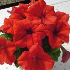 Петуния карликовая грандифлора Лимбо F1 Красная /1.000 семян/ *Hem Genetics*