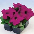 Петуния карликовая грандифлора Лимбо F1 Пурпурная /1.000 семян/ *Hem Genetics*
