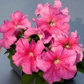 Петуния Лимбо F1 Розовая с прожилками /1.000 семян/ *Hem Genetics*