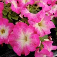Петуния Лимбо F1 Розовое утро /1.000 семян/ *Hem Genetics*