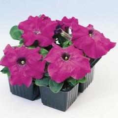 Петуния карликовая грандифлора Лимбо F1 Фиолетовая /1.000 семян/ *Hem Genetics*