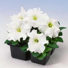 Петуния карликовая грандифлора Танго F1 белая /1.000 семян/ *Hem Genetics*
