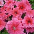 Петуния Танго F1 розовая с прожилками /1.000 семян/ *Hem Genetics*