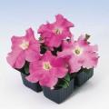 Петуния Танго F1 розовая /1.000 семян/ *Hem Genetics*
