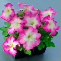 Петуния Танго F1 розовое утро /1.000 семян/ *Hem Genetics*