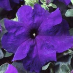 Петуния карликовая грандифлора Танго F1 синяя /1.000 семян/ *Hem Genetics*