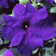 Петуния Танго F1 синяя /1.000 семян/ *Hem Genetics*