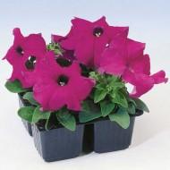Петуния Танго F1 фиолетовая /1.000 семян/ *Hem Genetics*