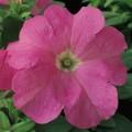 Петуния карликовая грандифлора Ультра F1 розовая /1.000 семян/ *Syngenta Seeds*