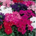 Петуния карликовая грандифлора Ультра F1 смесь /1.000 семян/ *Syngenta Seeds*