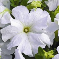 Петуния карликовая грандифлора Ультра F1 белый фреш /1.000 семян/ *Syngenta Seeds*
