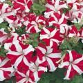 Петуния карликовая грандифлора Ультра F1 красная звезда /1.000 семян/ *Syngenta Seeds*