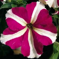 Петуния карликовая грандифлора Ультра F1 розовая звезда /1.000 семян/ *Syngenta Seeds*