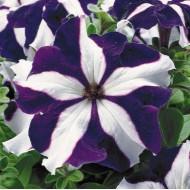 Петуния карликовая грандифлора Ультра F1 синяя звезда /1.000 семян/ *Syngenta Seeds*