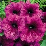 Петуния карликовая грандифлора Ультра F1 сливовая /1.000 семян/ *Syngenta Seeds*