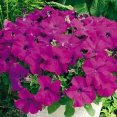 Петуния карликовая грандифлора Ультра F1 фиолетовая /1.000 семян/ *Syngenta Seeds*