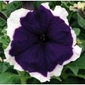 Петуния карликовая грандифлора Фрост F1 синяя /1.000 семян/ *Syngenta Seeds*