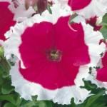 Петуния карликовая грандифлора Фрост F1 чери /1.000 семян/ *Syngenta Seeds*