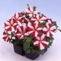 Петуния карликовая мультифлора Ламбада F1 красная звезда /1.000 семян/ *Hem Genetics*