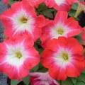 Петуния карликовая мультифлора Ламбада F1 пламенное утро /1.000 семян/ *Hem Genetics*