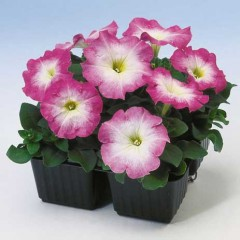 Петуния Ламбада F1 розовое утро /1.000 семян/ *Hem Genetics*