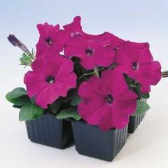 Петуния карликовая мультифлора Ламбада F1 фиолетовая /1.000 семян/ *Hem Genetics*
