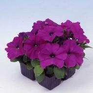Петуния карликовая мультифлора Мамбо F1 фиолетовая /1.000 семян/ *Hem Genetics*