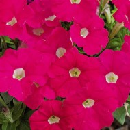 Петуния миллифлора Пикобелла F1 розовая /200 семян/ *Syngenta Seeds*
