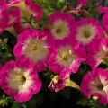 Петуния миллифлора Пикобелла F1 розовое утро /200 семян/ *Syngenta Seeds*