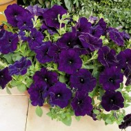 Петуния Рамблин F1 синяя /100 семян/ *Syngenta Seeds*