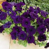 Петуния ампельная Рамблин F1 синяя /100 семян/ *Syngenta Seeds*