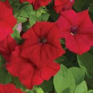 Петуния каскадная грандифлора Самба F1 красная /100 семян/ *Hem Genetics*