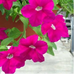 Петуния каскадная грандифлора Самба F1 фиолетовая /100 семян/ *Hem Genetics*