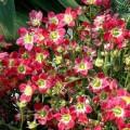 Саксифрага Хайлендер красная биколор /200 семян/ *Syngenta Seeds*