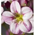 Саксифрага Хайлендер розовая с прожилками /200 семян/ *Syngenta Seeds*