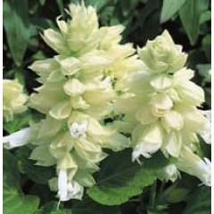 Сальвия Сальса белая /100 семян/ *Syngenta Seeds*