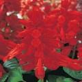 Сальвия Виста красная /1.000 семян/ *Pan American*