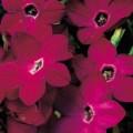 Табак крылатый Саратога F1 темно-розовый /200 семян/ *Syngenta Seeds*