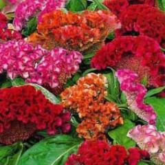Целозия гребешковая Кораловый сад смесь /5 грамм/ *Hem Zaden*