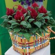 Целозия перистая Глоу красная /100 семян/ *Pan American*