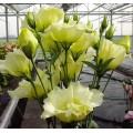 Эустома махровая Синдерелла F1 желтая /100 семян/ *Syngenta Seeds*